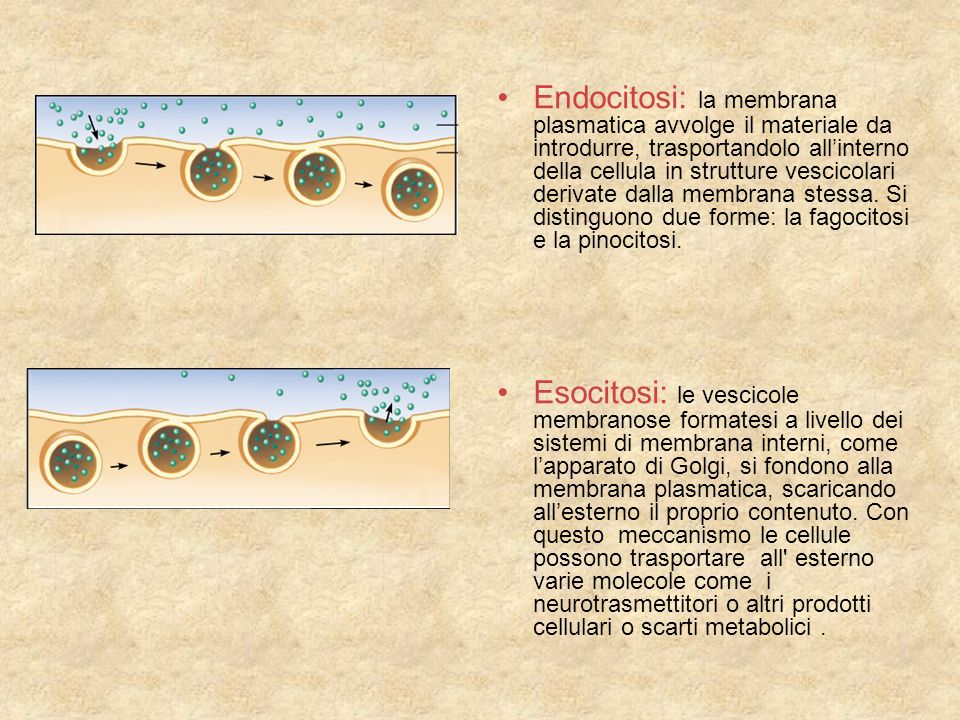 Endocitosi: la membrana plasmatica avvolge il materiale da introdurre, trasportandolo all'interno della cellula in strutture vescicolari derivate dalla membrana stessa. Si distinguono due forme: la fagocitosi e la pinocitosi.