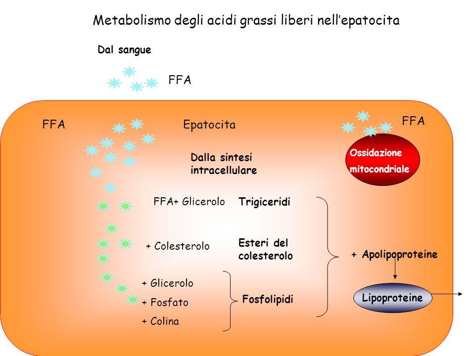 Metabolismo degli acidi grassi liberi nell'epatocita