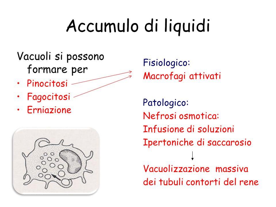 Accumulo di liquidi Vacuoli si possono formare per Pinocitosi