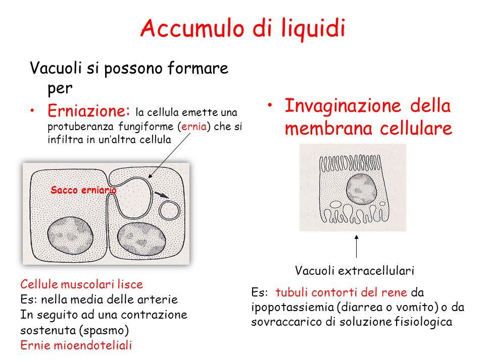 Accumulo di liquidi Invaginazione della membrana cellulare