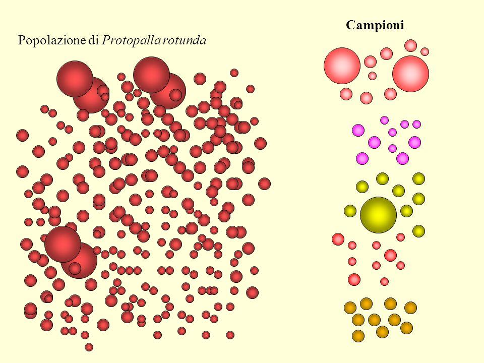 Campioni Popolazione di Protopalla rotunda