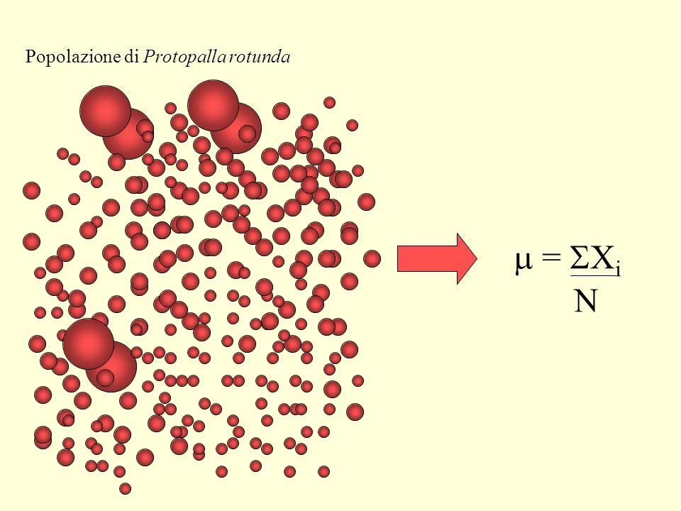 Popolazione di Protopalla rotunda
