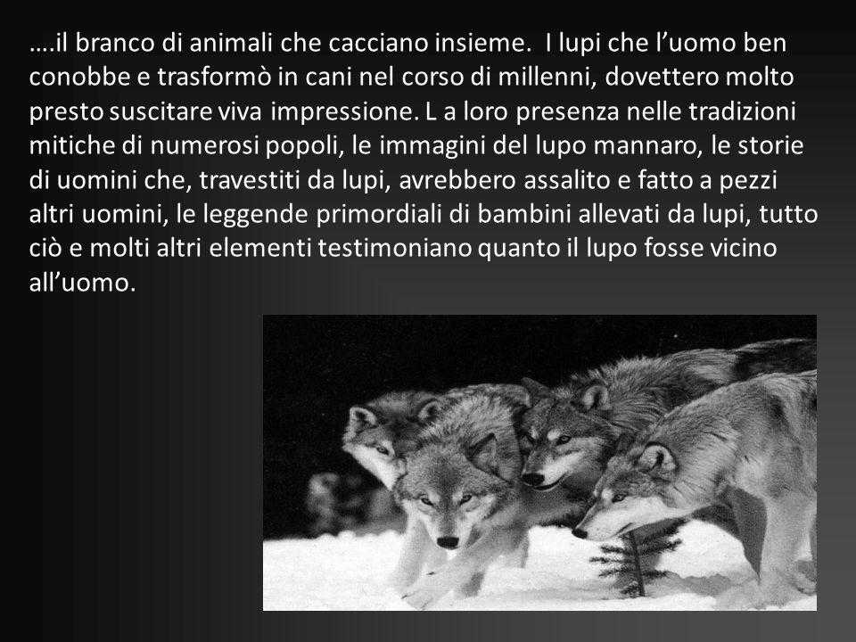 …. il branco di animali che cacciano insieme