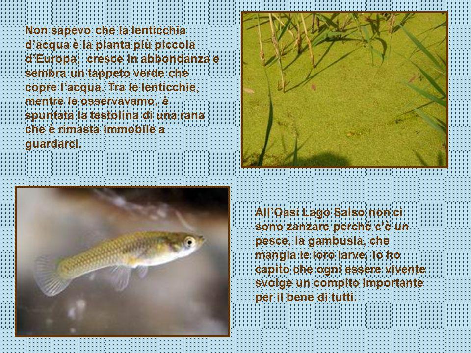 Non sapevo che la lenticchia d'acqua è la pianta più piccola d'Europa; cresce in abbondanza e sembra un tappeto verde che copre l'acqua. Tra le lenticchie, mentre le osservavamo, è spuntata la testolina di una rana che è rimasta immobile a guardarci.