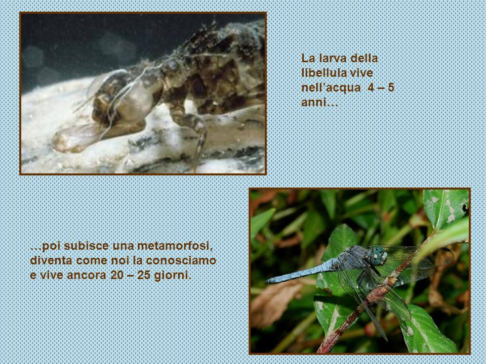 La larva della libellula vive nell'acqua 4 – 5 anni…
