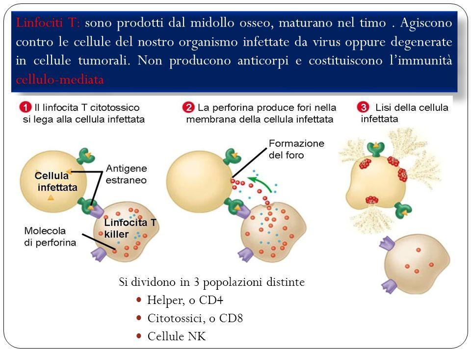Linfociti T: sono prodotti dal midollo osseo, maturano nel timo