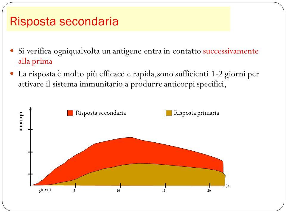 Risposta secondaria Si verifica ogniqualvolta un antigene entra in contatto successivamente alla prima.