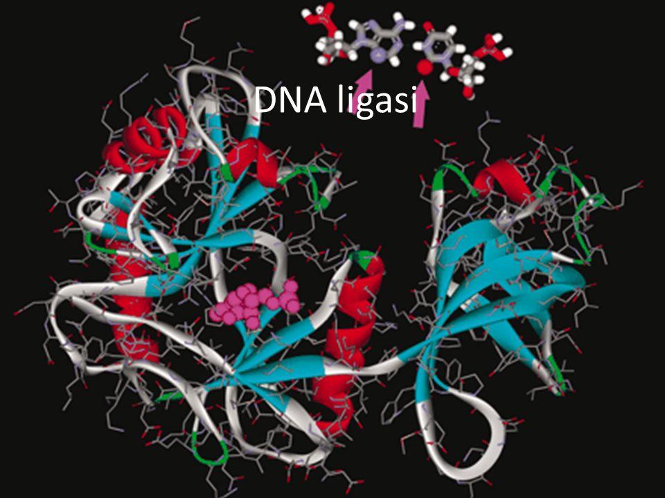 DNA ligasi 15