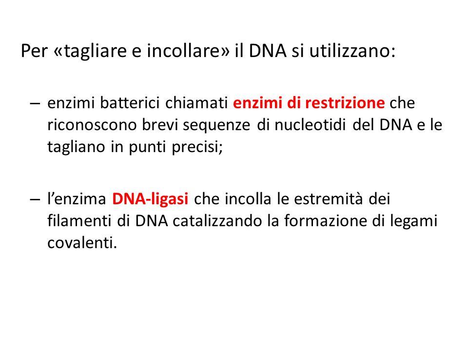 Per «tagliare e incollare» il DNA si utilizzano: