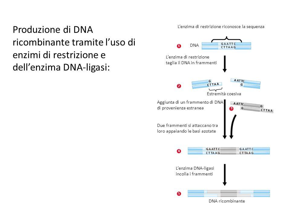 Produzione di DNA ricombinante tramite l'uso di enzimi di restrizione e dell'enzima DNA-ligasi:
