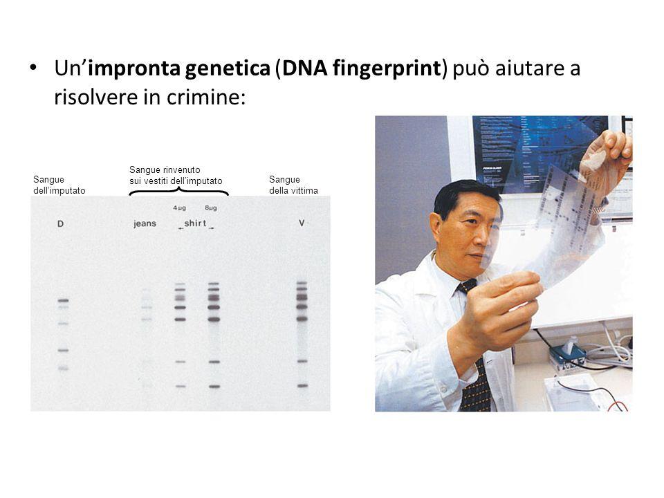 Un'impronta genetica (DNA fingerprint) può aiutare a risolvere in crimine: Sangue. dell'imputato. Sangue rinvenuto.
