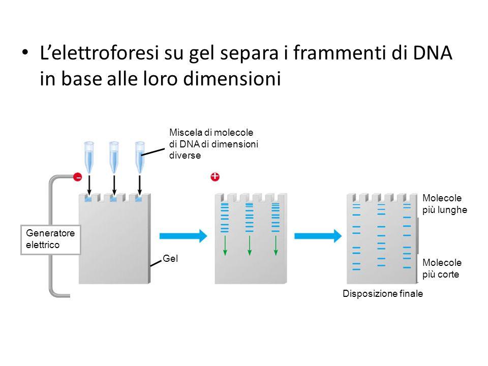 L'elettroforesi su gel separa i frammenti di DNA in base alle loro dimensioni Miscela di molecole. di DNA di dimensioni.