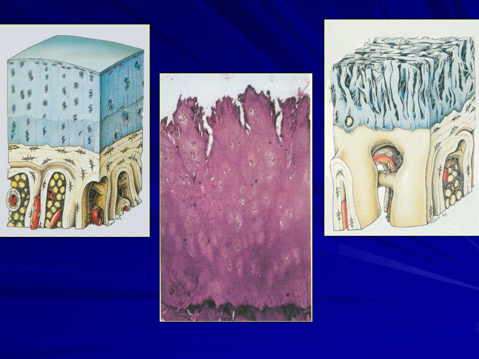 Inserire DIA della cartilagine vetrini istologici