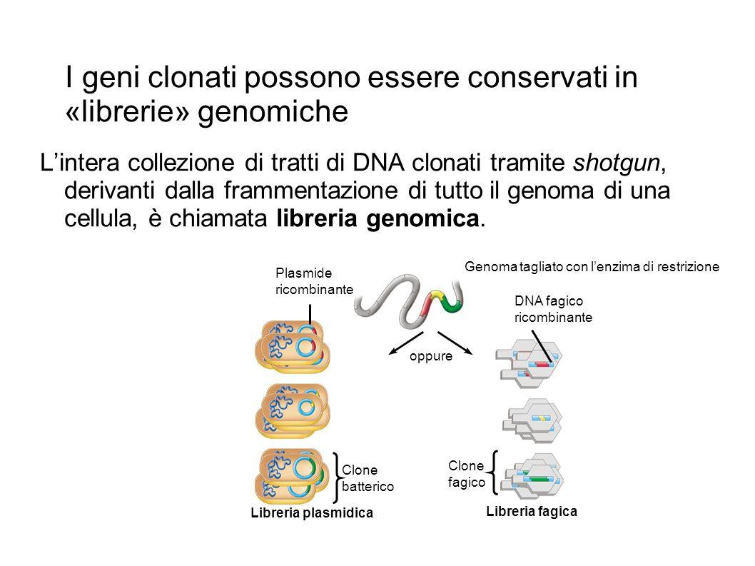 I geni clonati possono essere conservati in «librerie» genomiche