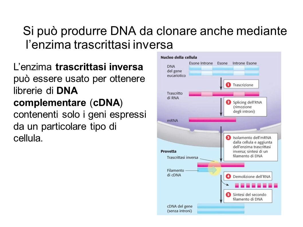 Si può produrre DNA da clonare anche mediante l'enzima trascrittasi inversa