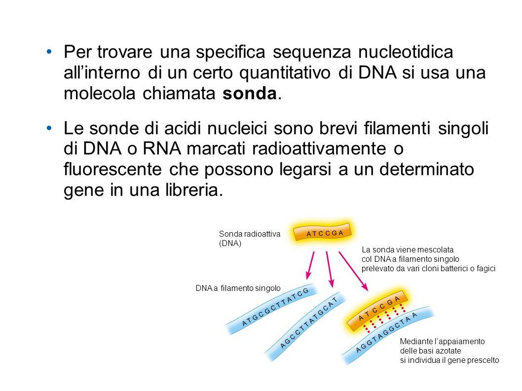 Per trovare una specifica sequenza nucleotidica all'interno di un certo quantitativo di DNA si usa una molecola chiamata sonda.