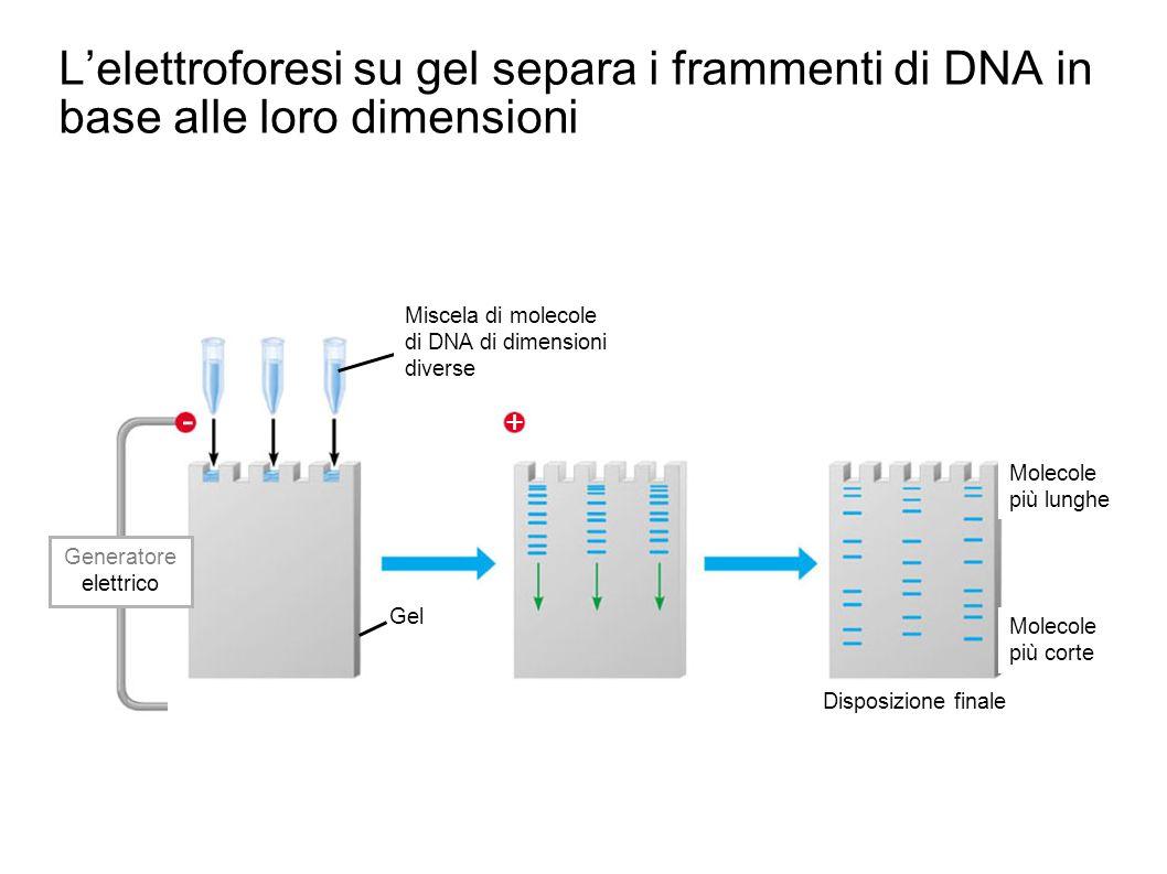 L'elettroforesi su gel separa i frammenti di DNA in base alle loro dimensioni Miscela di molecole.