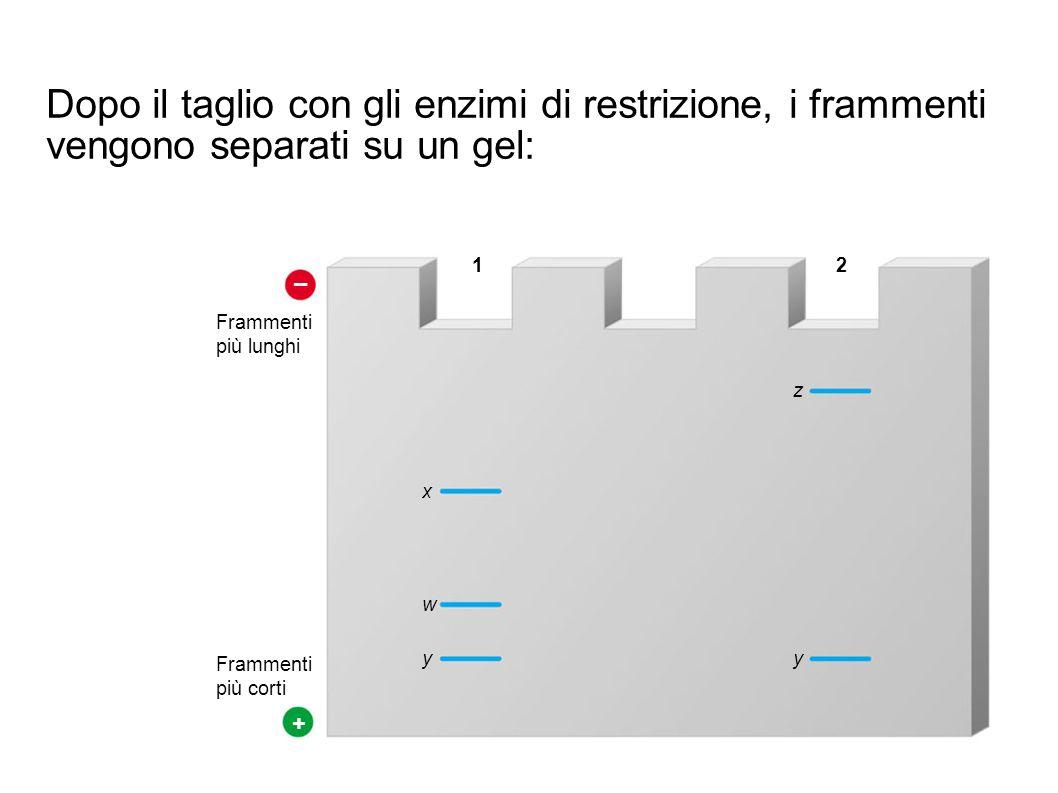 Dopo il taglio con gli enzimi di restrizione, i frammenti vengono separati su un gel: – + Frammenti.