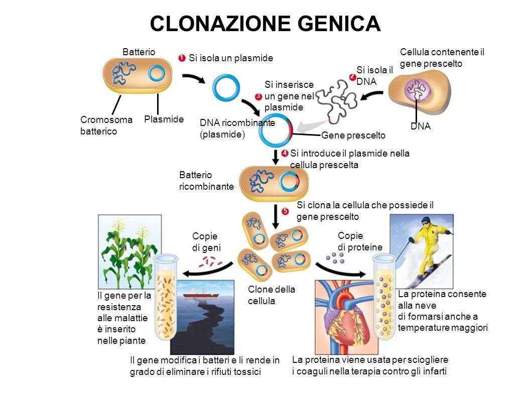 CLONAZIONE GENICA Batterio Cellula contenente il gene prescelto