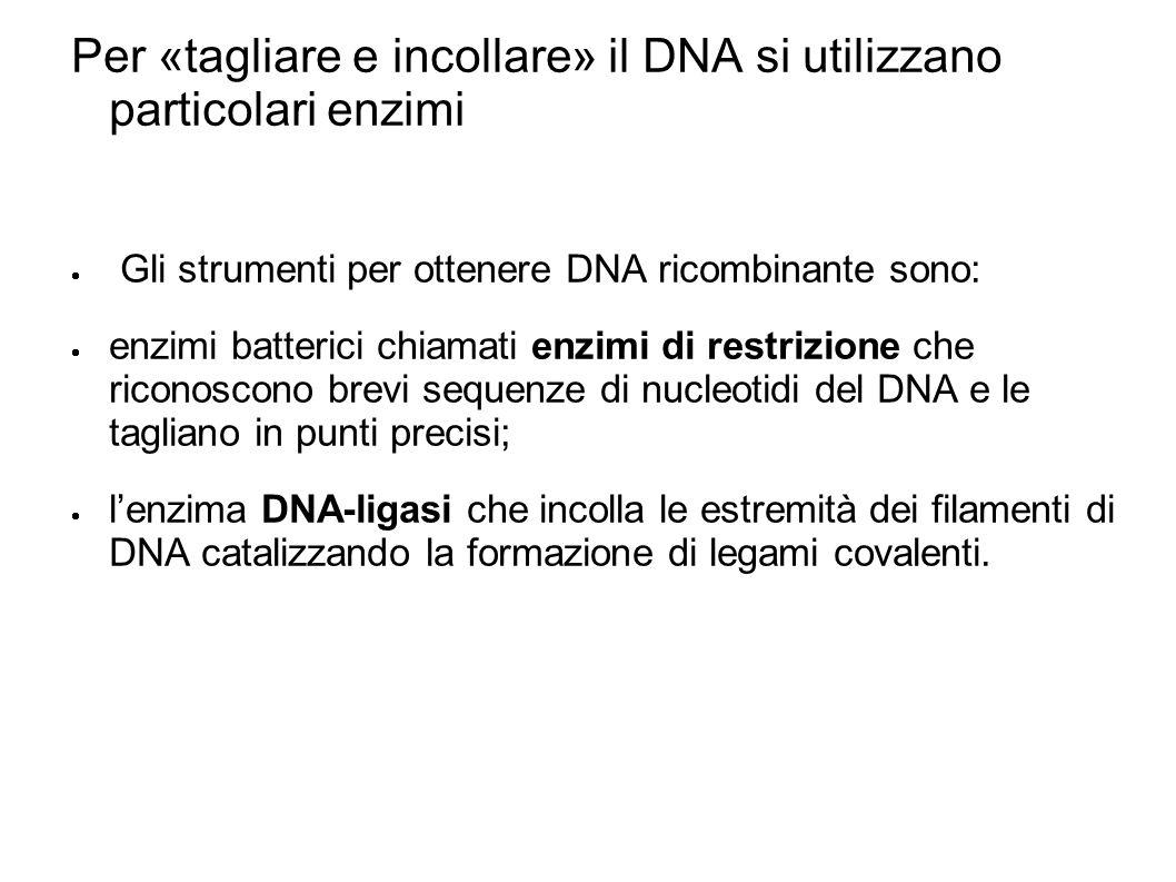 Per «tagliare e incollare» il DNA si utilizzano particolari enzimi