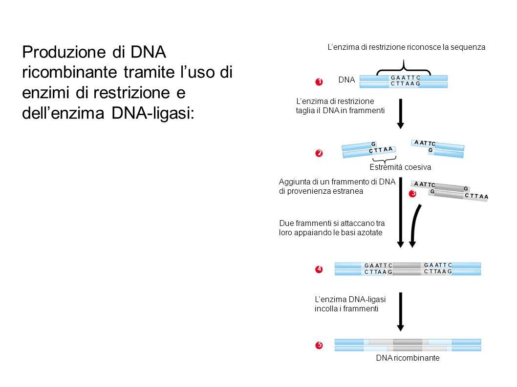 L'enzima di restrizione riconosce la sequenza