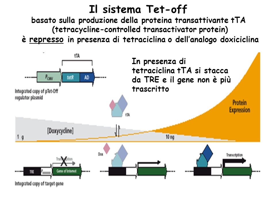 Il sistema Tet-off basato sulla produzione della proteina transattivante tTA. (tetracycline-controlled transactivator protein)