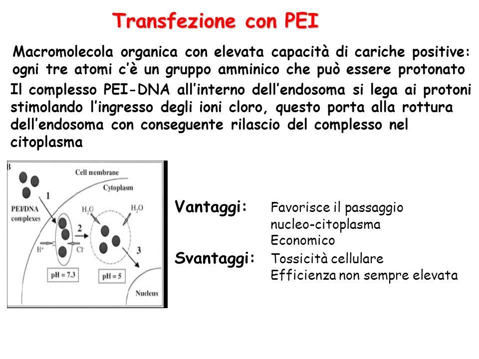 Transfezione con PEI Vantaggi: Favorisce il passaggio