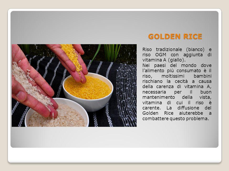 GOLDEN RICE Riso tradizionale (bianco) e riso OGM con aggiunta di vitamina A (giallo).