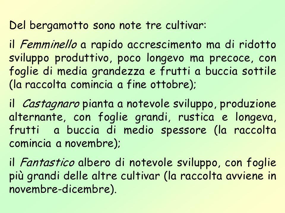 Del bergamotto sono note tre cultivar: