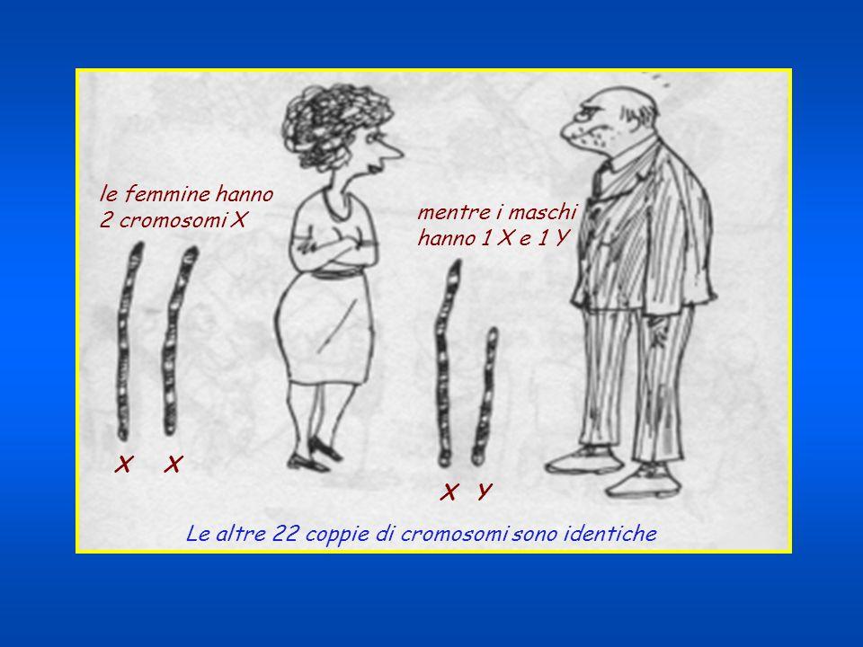 le femmine hanno 2 cromosomi X. mentre i maschi.