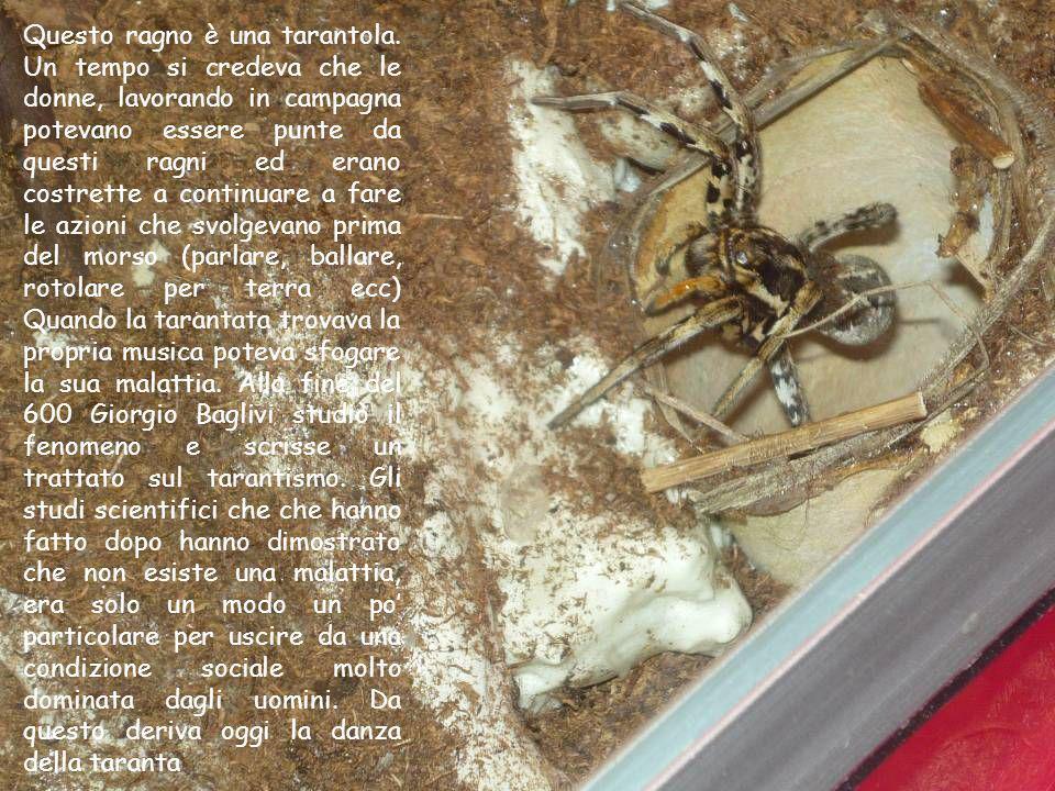 Questo ragno è una tarantola