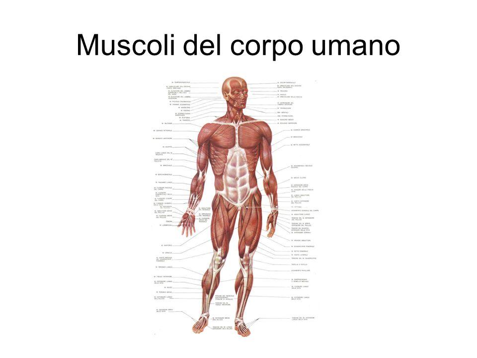 Muscoli del corpo umano