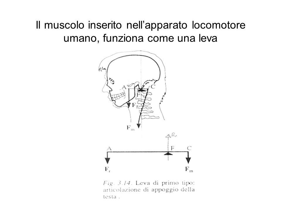 Il muscolo inserito nell'apparato locomotore umano, funziona come una leva