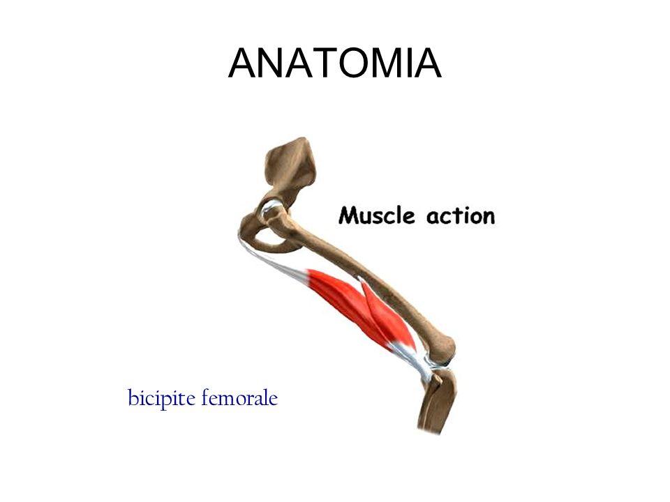 ANATOMIA bicipite femorale