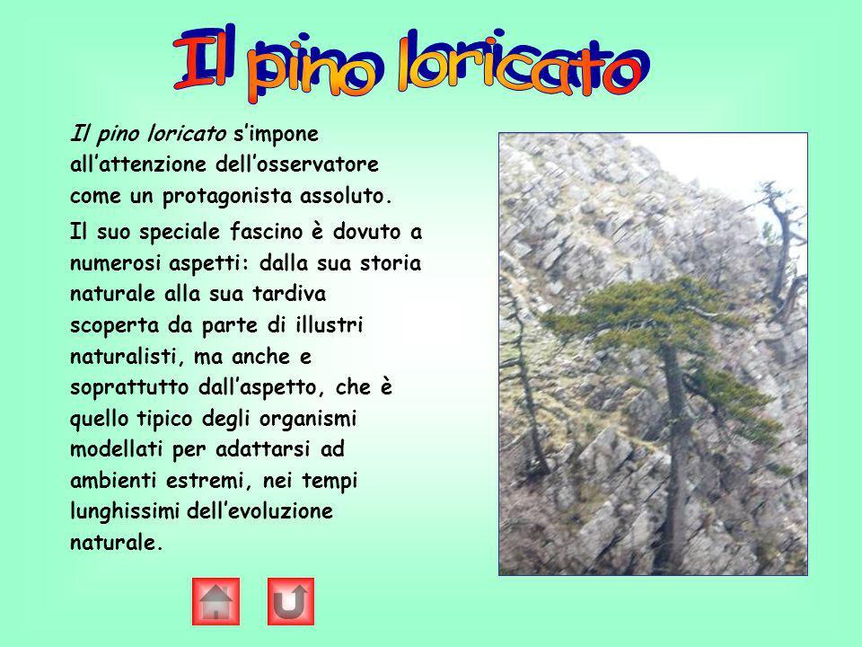 Il pino loricato Il pino loricato s'impone all'attenzione dell'osservatore come un protagonista assoluto.