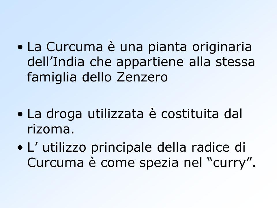 La Curcuma è una pianta originaria dell'India che appartiene alla stessa famiglia dello Zenzero