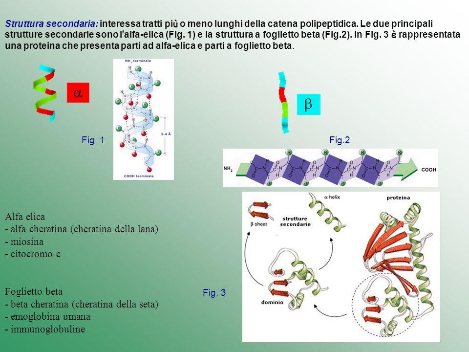 Struttura secondaria: interessa tratti più o meno lunghi della catena polipeptidica. Le due principali strutture secondarie sono l'alfa-elica (Fig. 1) e la struttura a foglietto beta (Fig.2). In Fig. 3 è rappresentata una proteina che presenta parti ad alfa-elica e parti a foglietto beta.