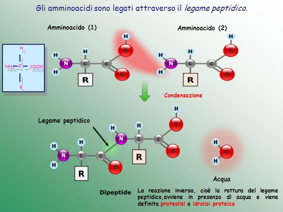 Gli amminoacidi sono legati attraverso il legame peptidico.