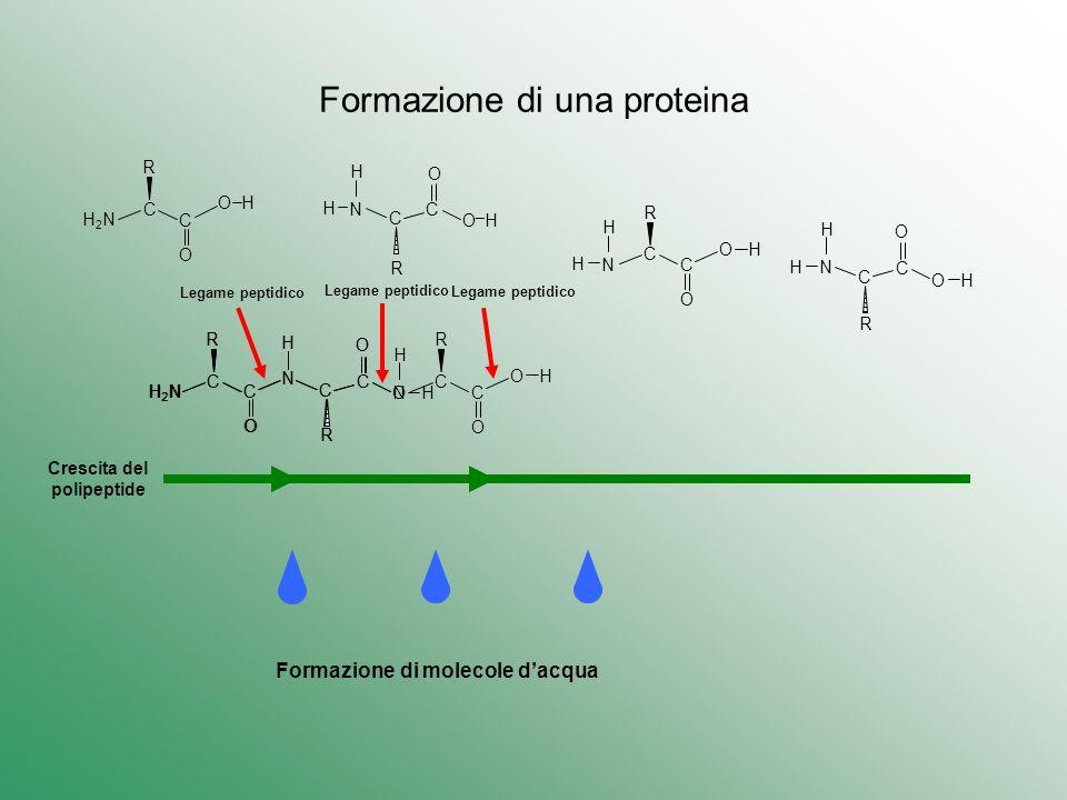 Formazione di una proteina