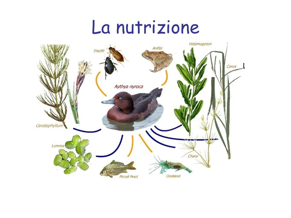 La nutrizione Tutti gli animali si nutrono di sostanze organiche, cioè di sostanze prodotte da organismi viventi.