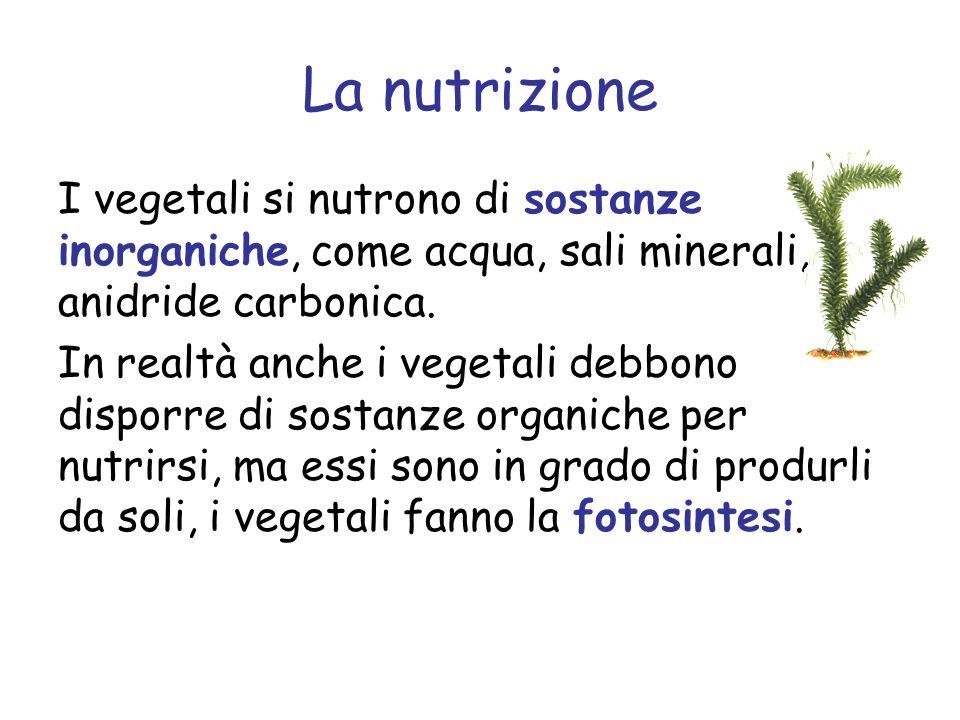 La nutrizione I vegetali si nutrono di sostanze inorganiche, come acqua, sali minerali, anidride carbonica.
