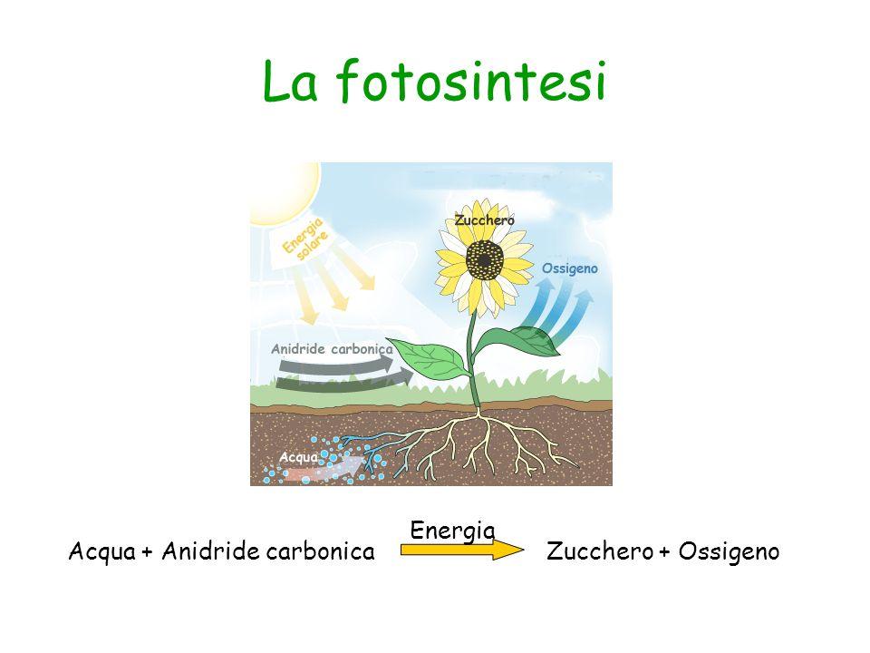 La fotosintesi Acqua + Anidride carbonica Zucchero + Ossigeno Energia