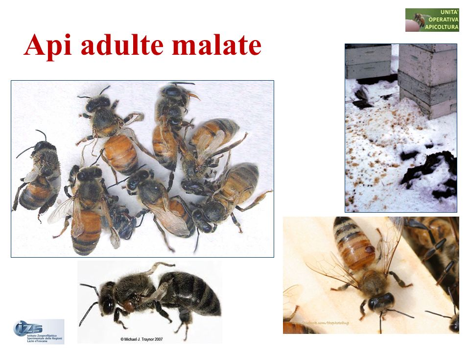 Api adulte malate