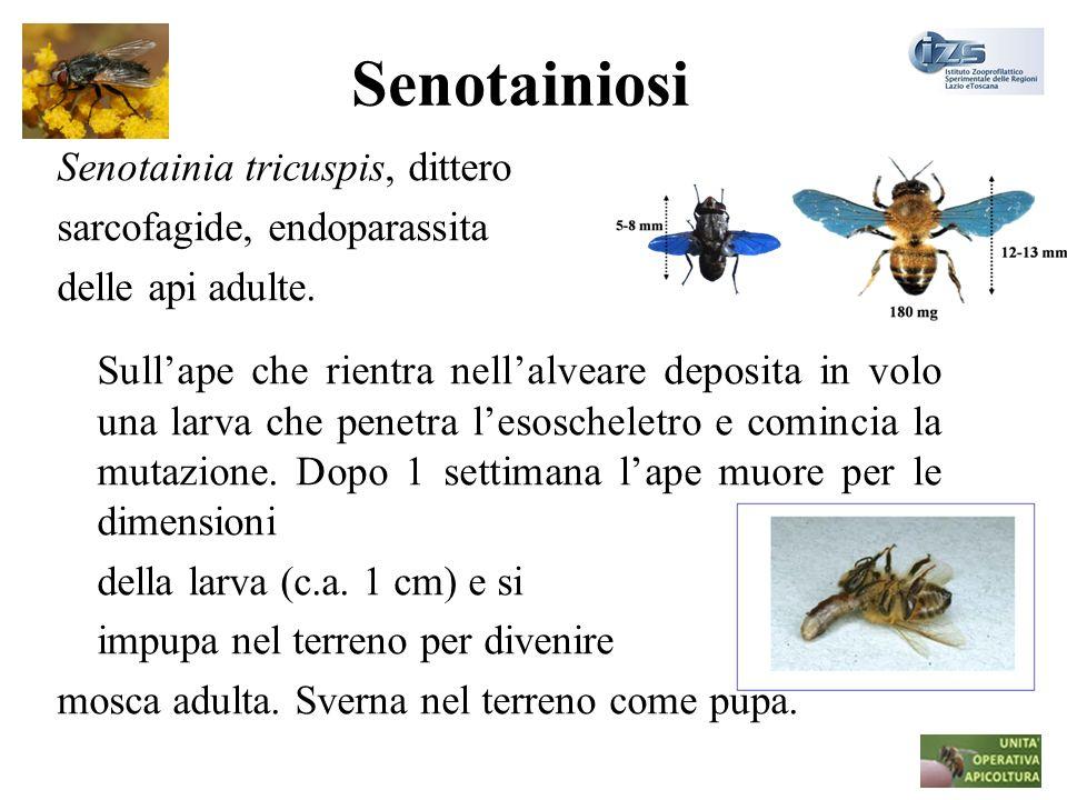 Senotainiosi Senotainia tricuspis, dittero. sarcofagide, endoparassita. delle api adulte.