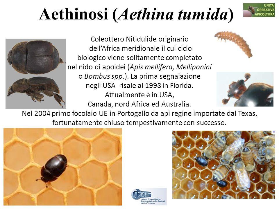 Aethinosi (Aethina tumida)