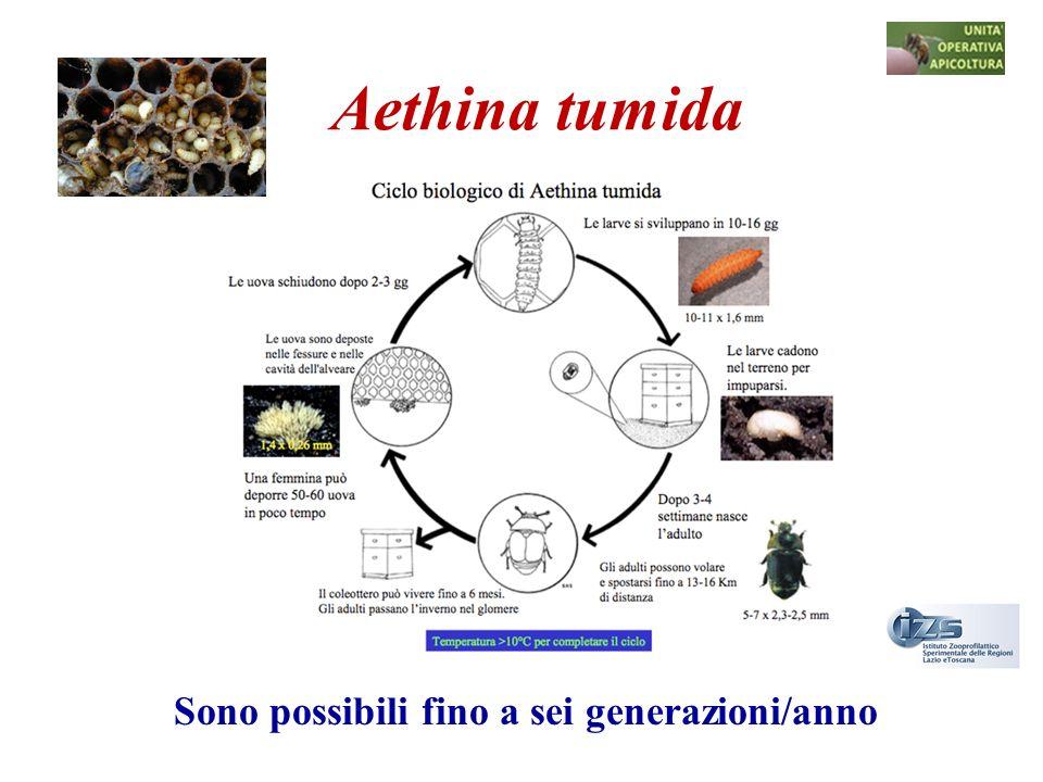 Aethina tumida Sono possibili fino a sei generazioni/anno