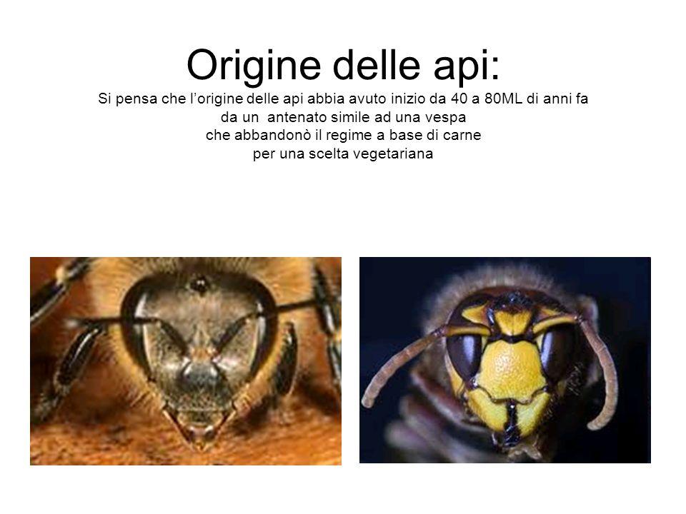 Origine delle api: Si pensa che l'origine delle api abbia avuto inizio da 40 a 80ML di anni fa da un antenato simile ad una vespa che abbandonò il regime a base di carne per una scelta vegetariana