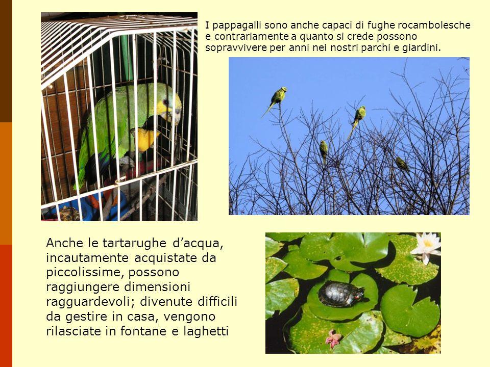 I pappagalli sono anche capaci di fughe rocambolesche e contrariamente a quanto si crede possono sopravvivere per anni nei nostri parchi e giardini.