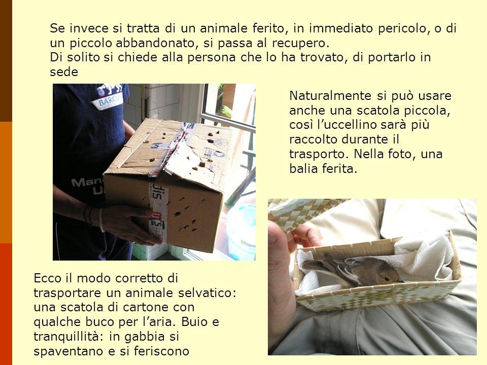 Se invece si tratta di un animale ferito, in immediato pericolo, o di un piccolo abbandonato, si passa al recupero.