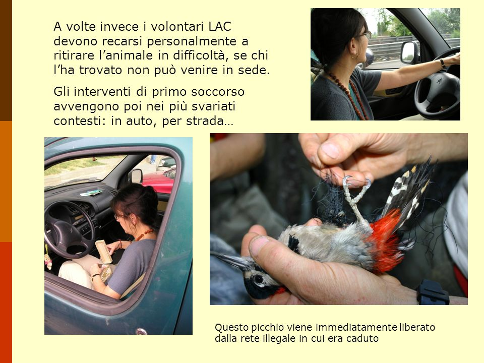 A volte invece i volontari LAC devono recarsi personalmente a ritirare l'animale in difficoltà, se chi l'ha trovato non può venire in sede.